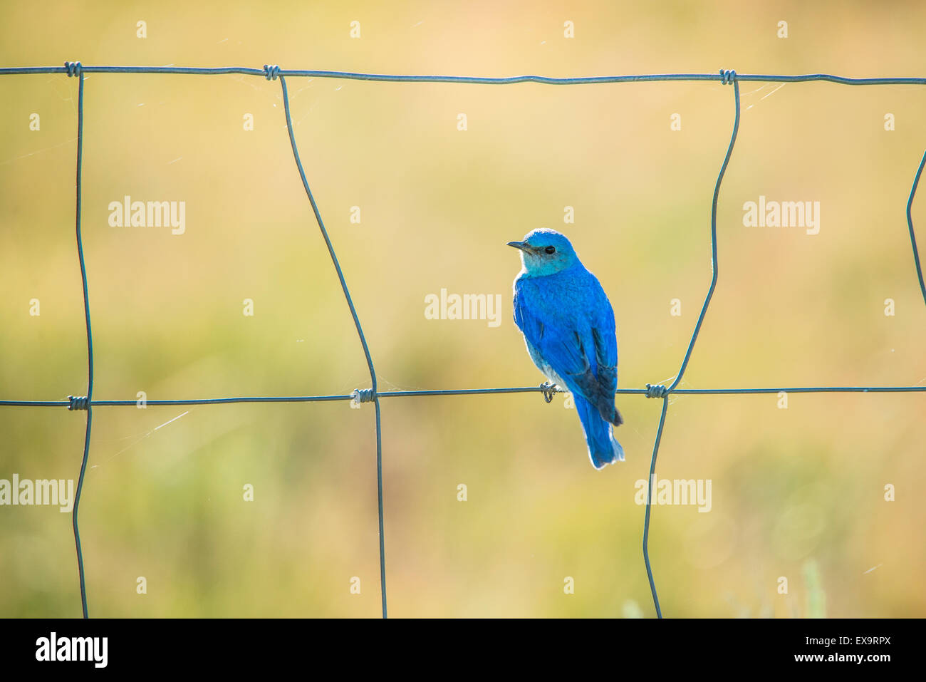 Birds,Male Mountain Blue Bird perched on a fence. Idaho State Bird, Idaho, USA - Stock Image
