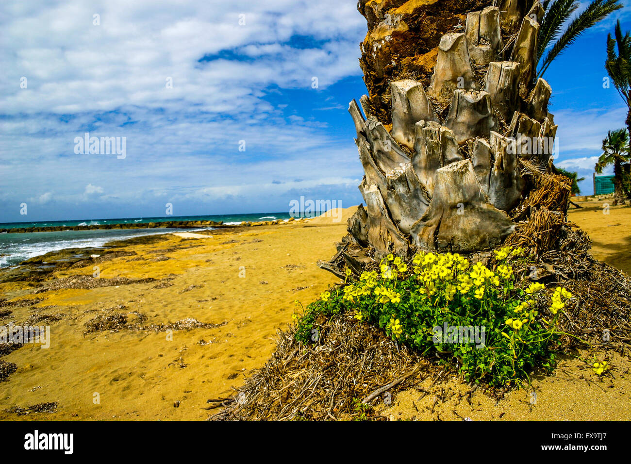 Palm Tree And Yellow Flowers In Cyprus Stock Photo 85039423 Alamy