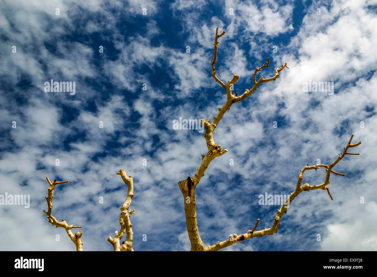 Tree against blue sky in Cyprus with fluffy clouds - Stock Image