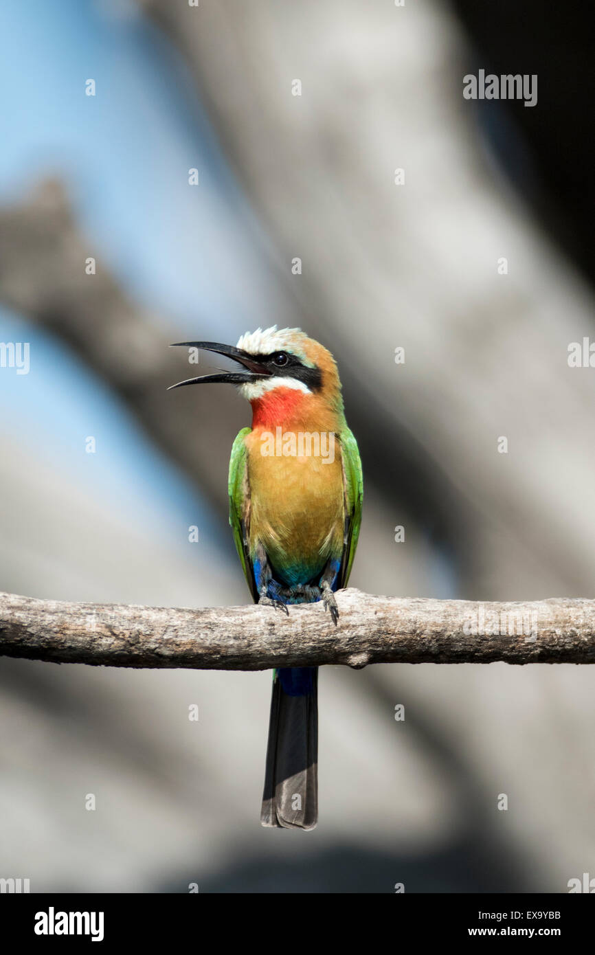 Africa, Botswana, Chobe National Park, White-fronted Bee-Eater (Merops bullockoides) in tree branch above Chobe - Stock Image