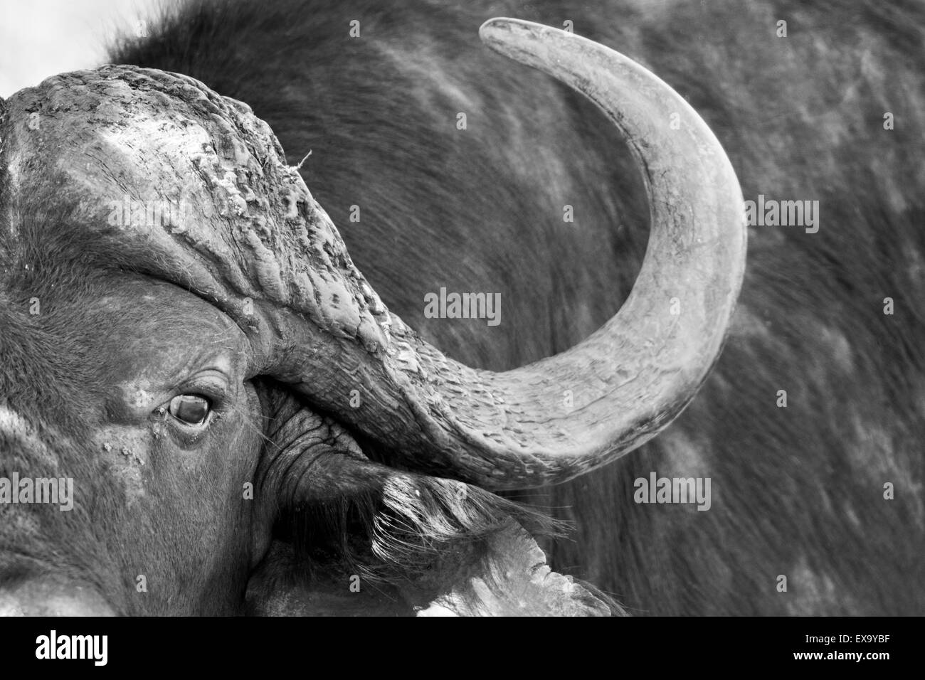 South Africa, Kruger National Park, Close-up view of Cape Buffalo (Syncerus caffer) in shallow stream on summer - Stock Image