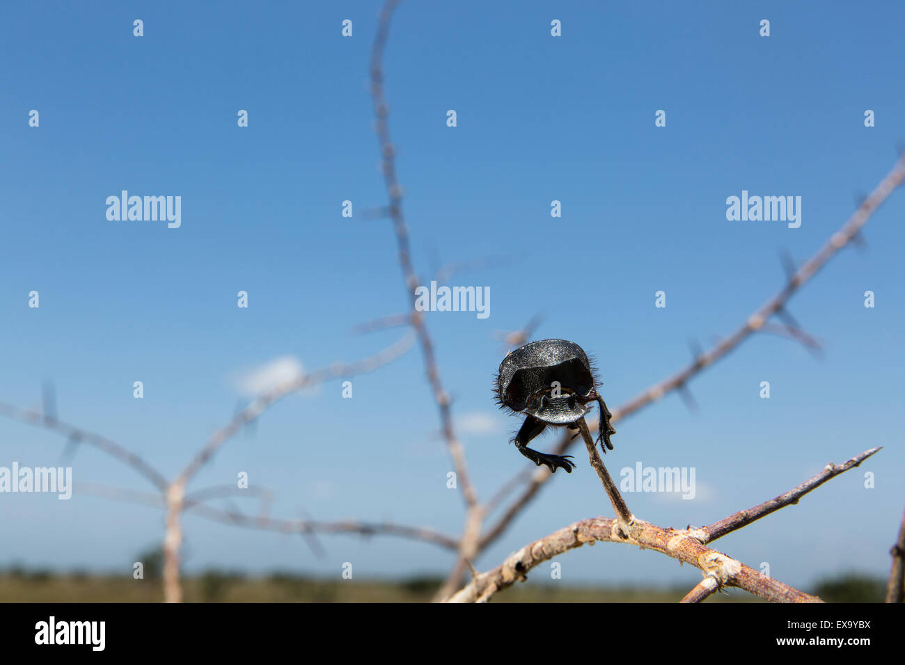 South Africa, Kruger National Park, Dung Beetle, (Scarabeus sp.) impaled on sharp thorn by Southern Fiscal Shrike - Stock Image