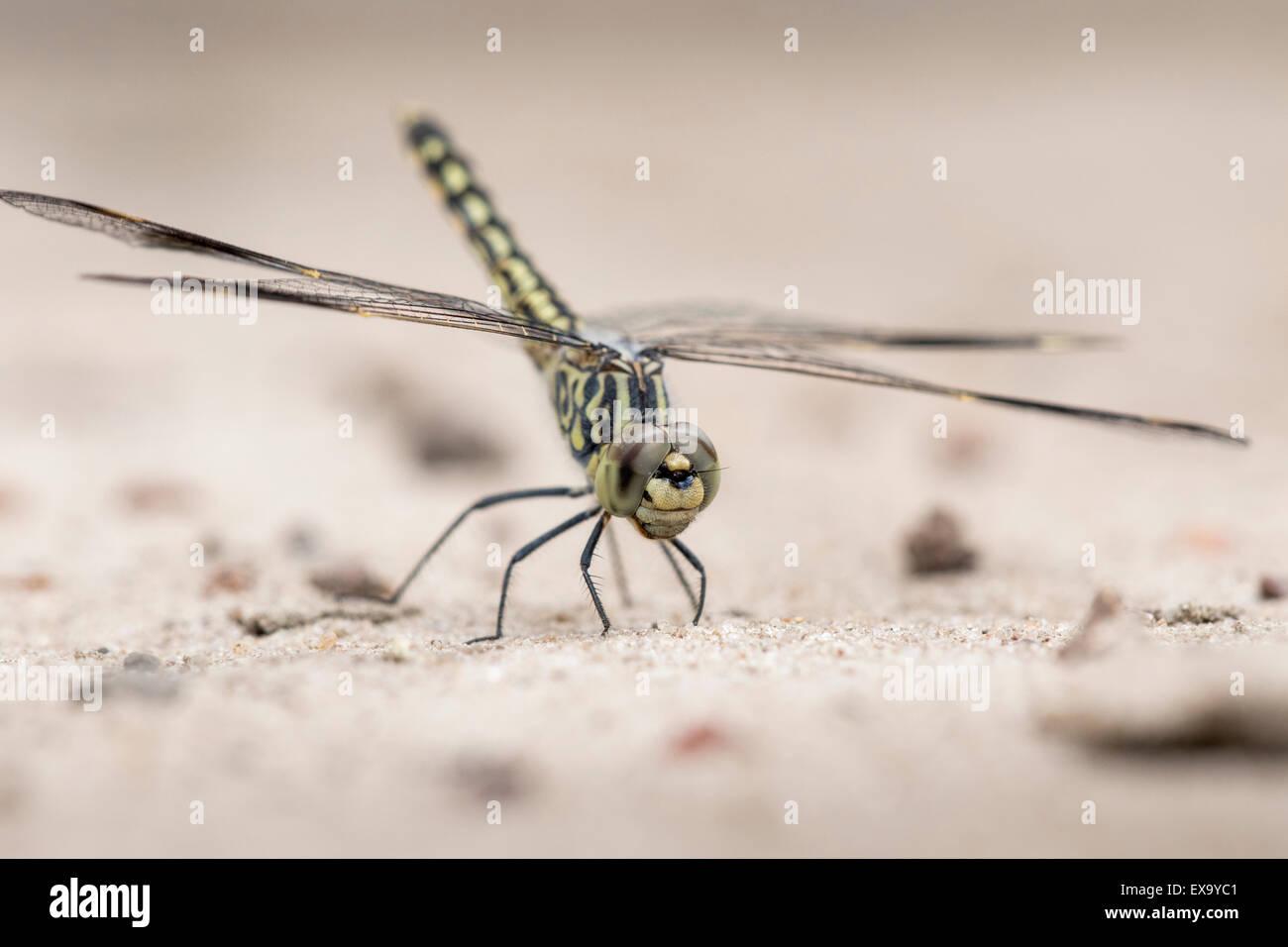 Africa, Botswana, Chobe National Park, Macro view of dragonfly in sand along Chobe River Stock Photo