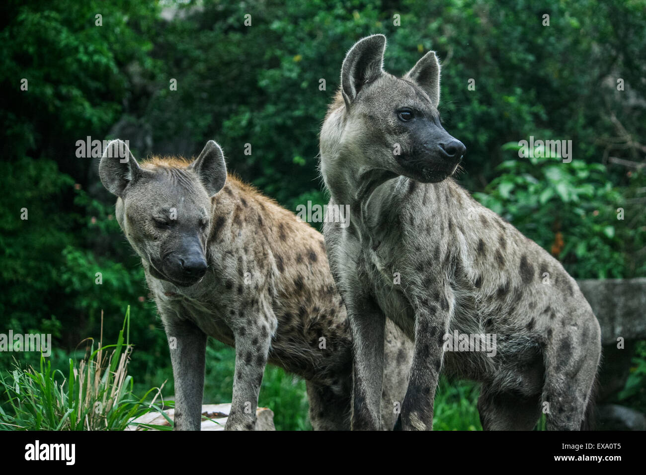 Two Hyena Stock Photo