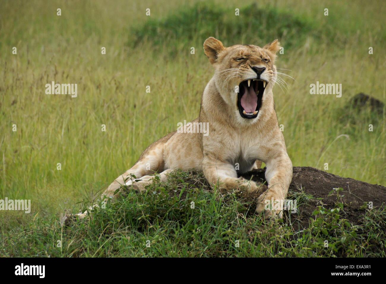 Lioness yawning on top of termite mound, Masai Mara, Kenya - Stock Image