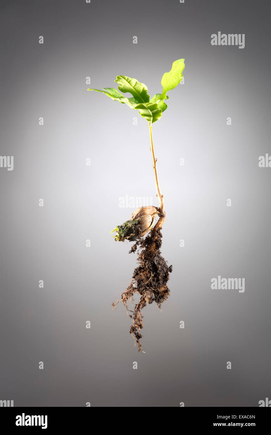oaklet, oak sprout, oak shoot, plant with earth, rooting and acorn - Stock Image