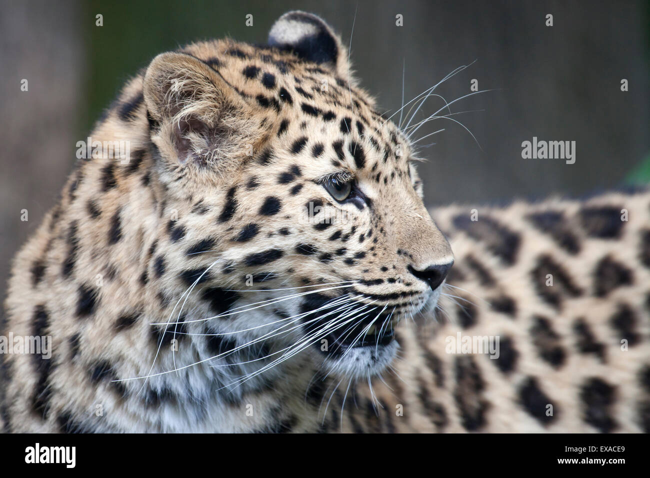 A side profile of an Amur Leopard - Stock Image