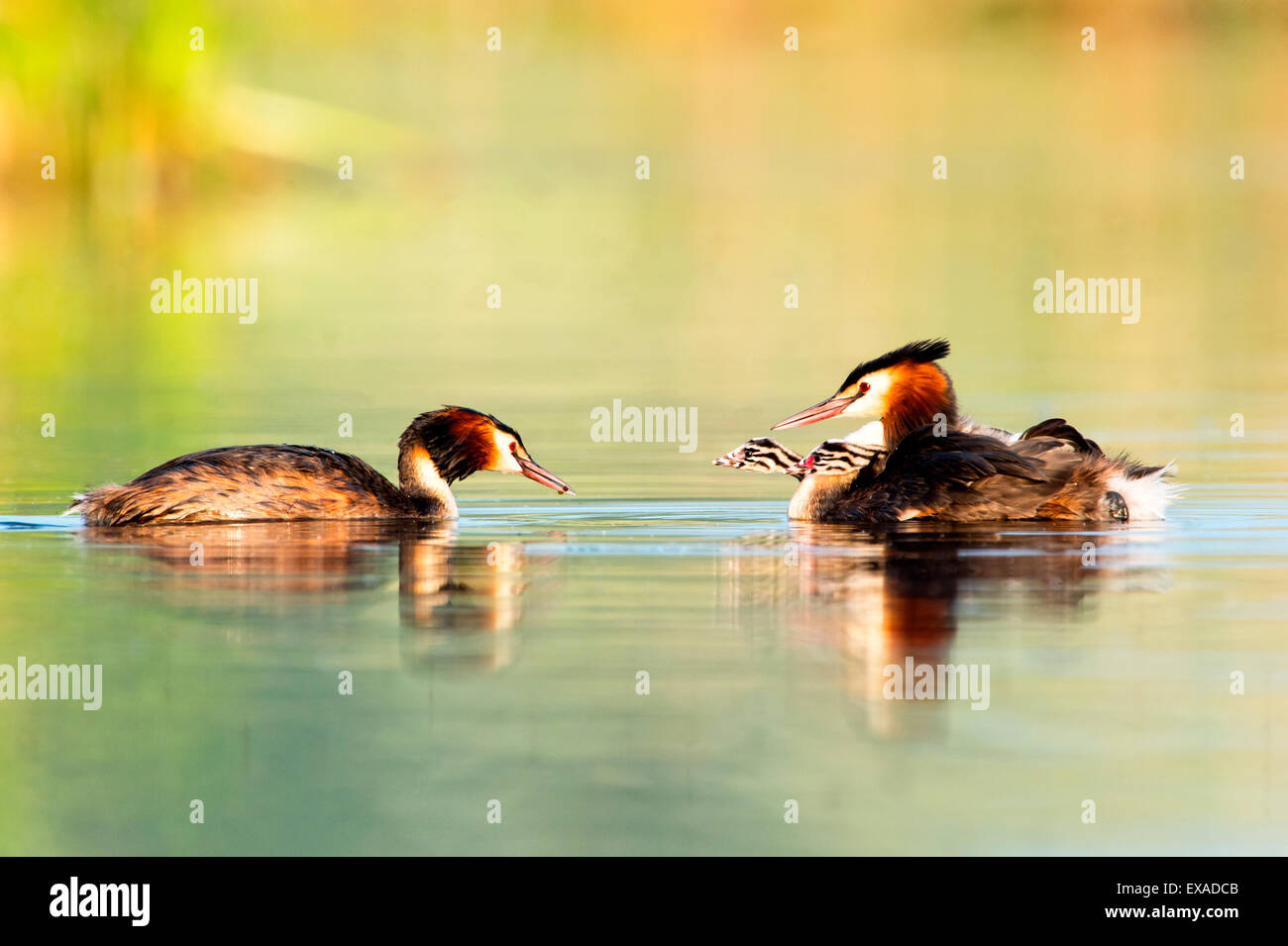 Great Crested Grebes (Podiceps cristatus) with chicks on the back, Canton of Vaud, Switzerland - Stock Image