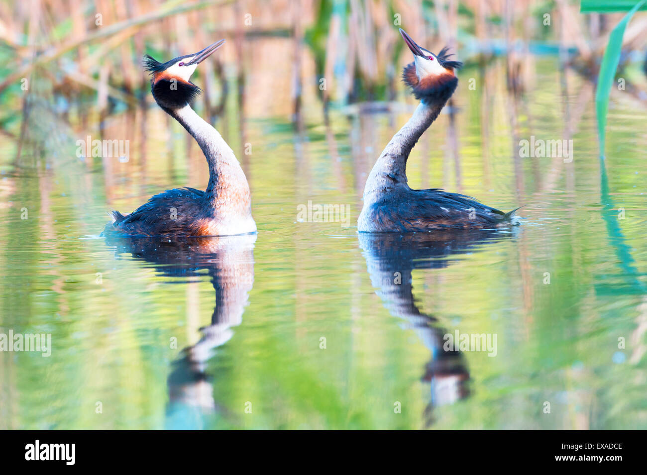Great Crested Grebes (Podiceps cristatus) doing a mating dance, Canton of Vaud, Switzerland - Stock Image