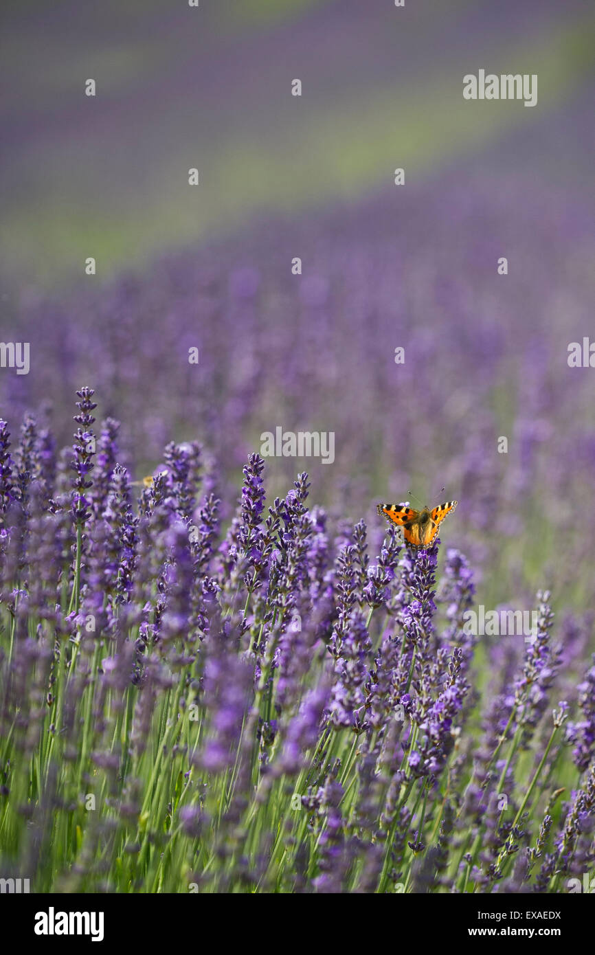 A Small Tortoiseshell (Aglais urticae) butterfly in a lavender field. - Stock Image