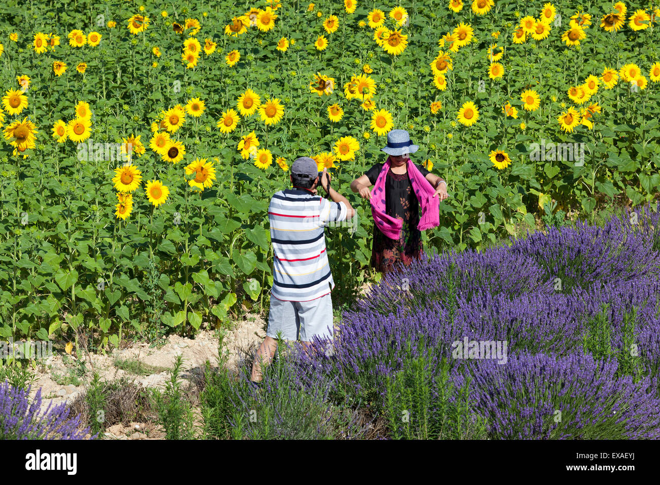 A Chinese couple taking souvenir pictures in a hybrid lavender and sunflower field (Valensole - France). - Stock Image