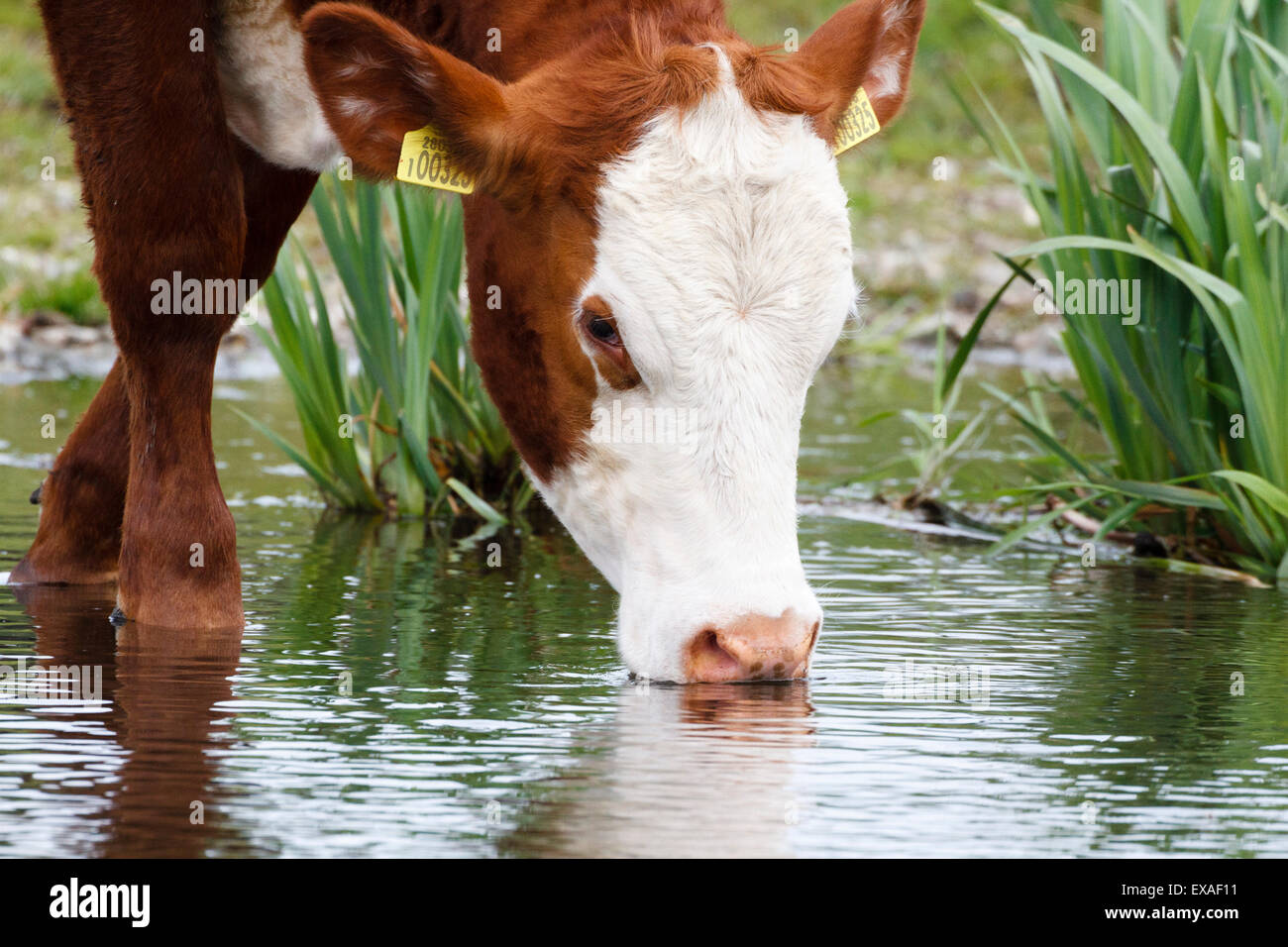 Cow drinking from the River Colne, Surrey, England, UK - Stock Image