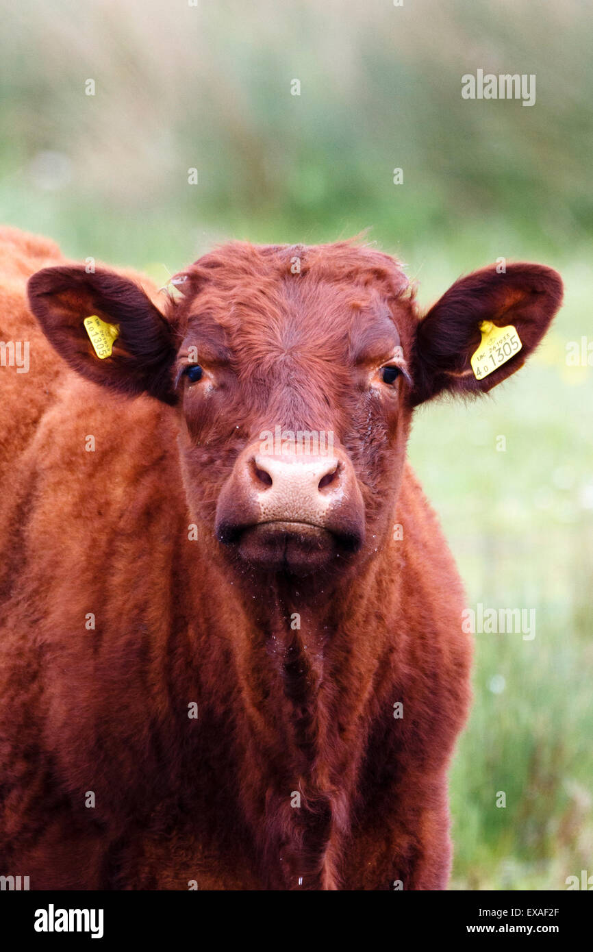 Cow with ear tags staring, Surrey, England, UK - Stock Image