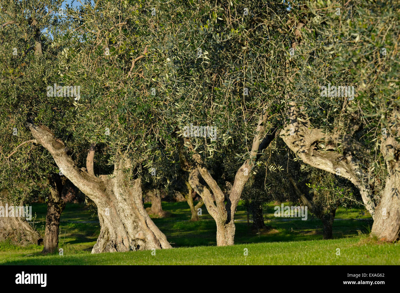 Olive Trees Garden Stock Photos & Olive Trees Garden Stock Images ...