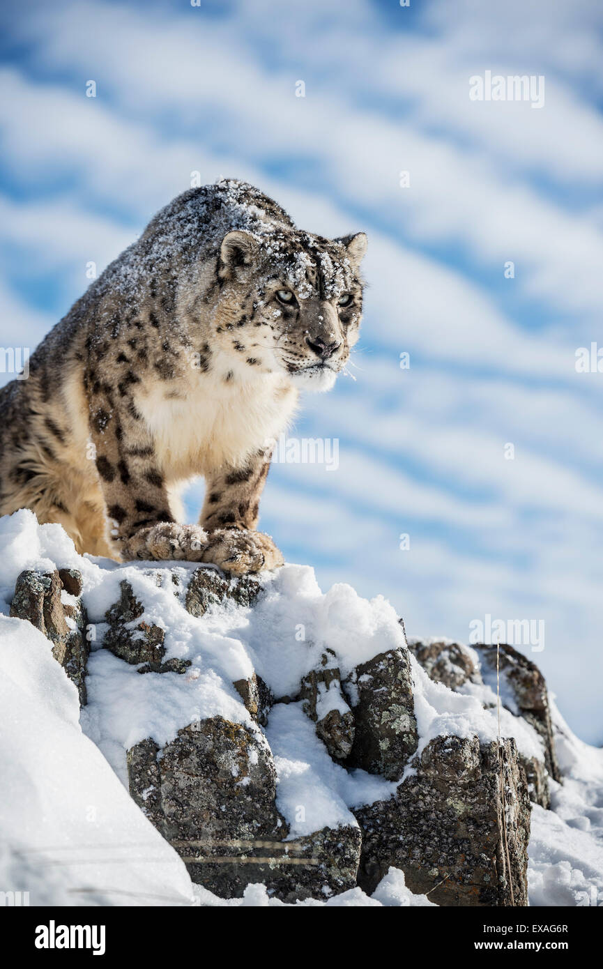 Snow leopard (Panthera india), Montana, United States of America, North America - Stock Image