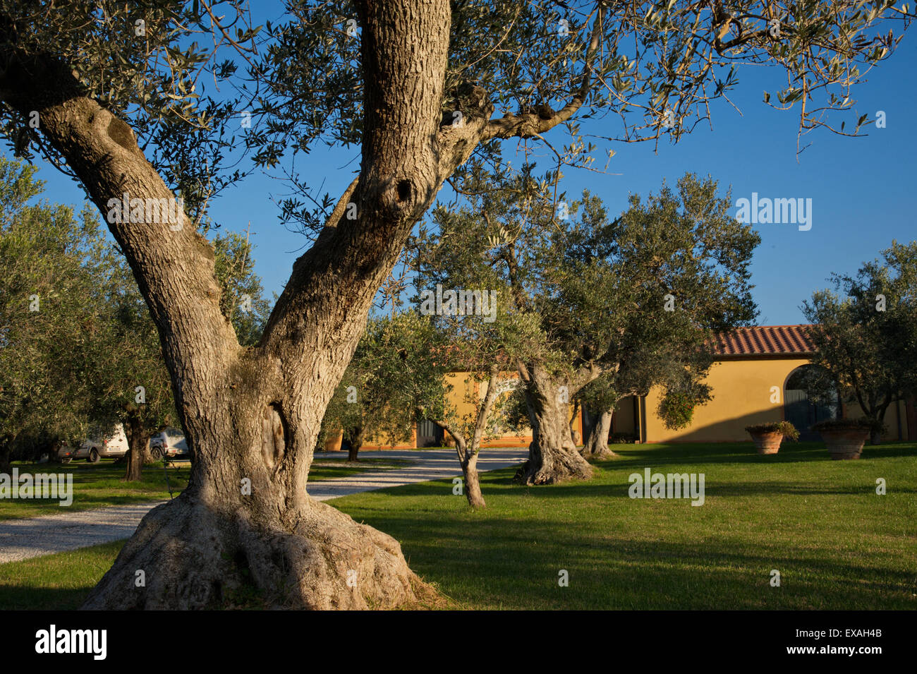 Olive Trees In Garden Stock Photos & Olive Trees In Garden Stock ...