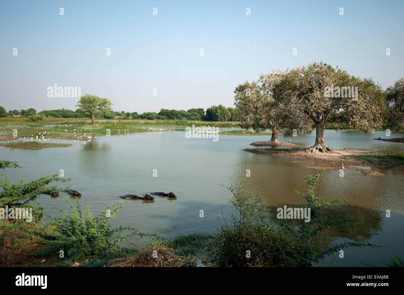 Buffalo wade through a rural village pond lined with egrets, Dasada district, Gujarat, India, Asia - Stock Image