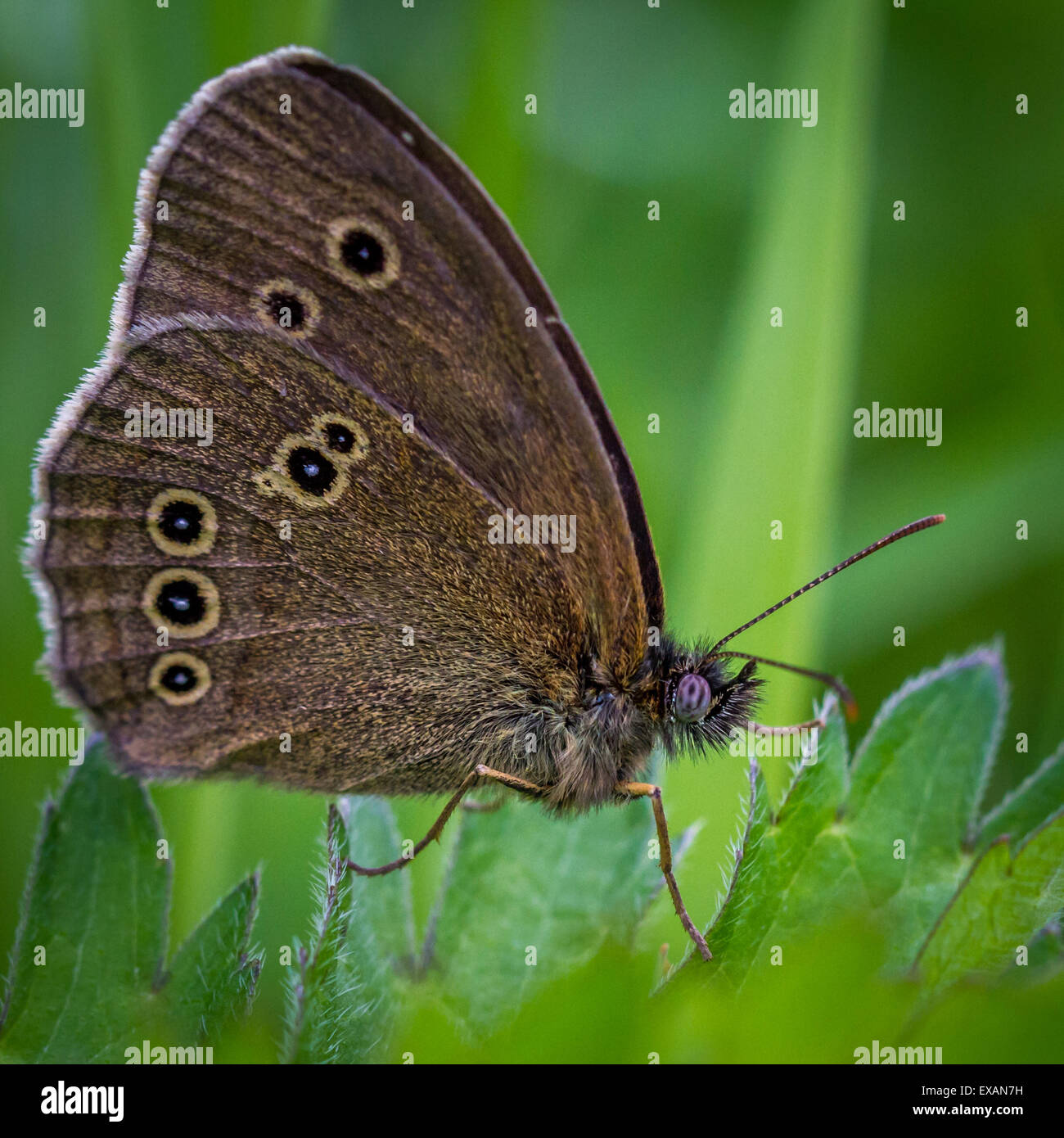 ringlet butterfly, Yorkshire, UK - Stock Image
