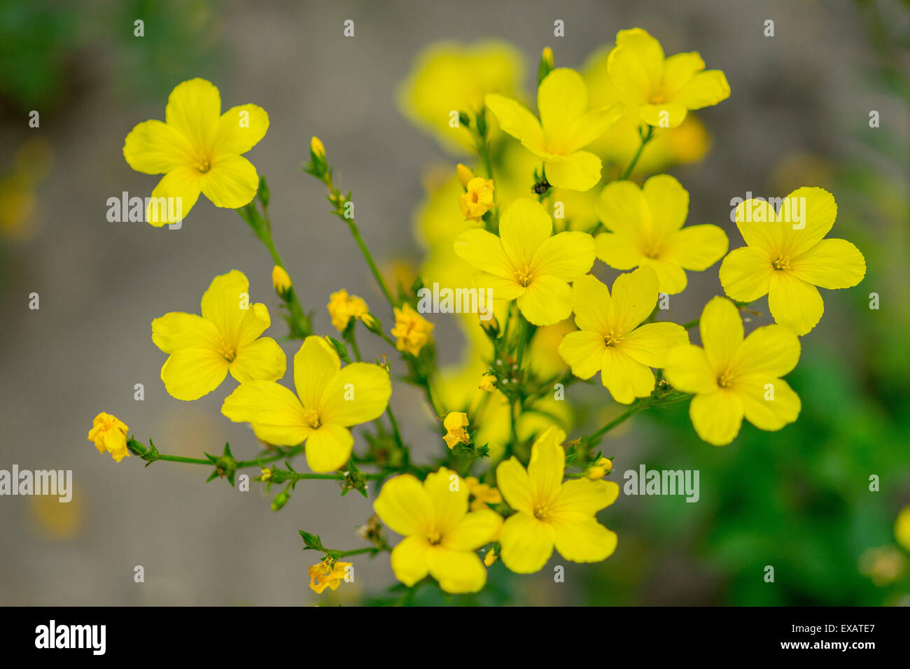 Yellow flax stock photos yellow flax stock images alamy linum flavum golden yellow flax flowers close up stock image mightylinksfo