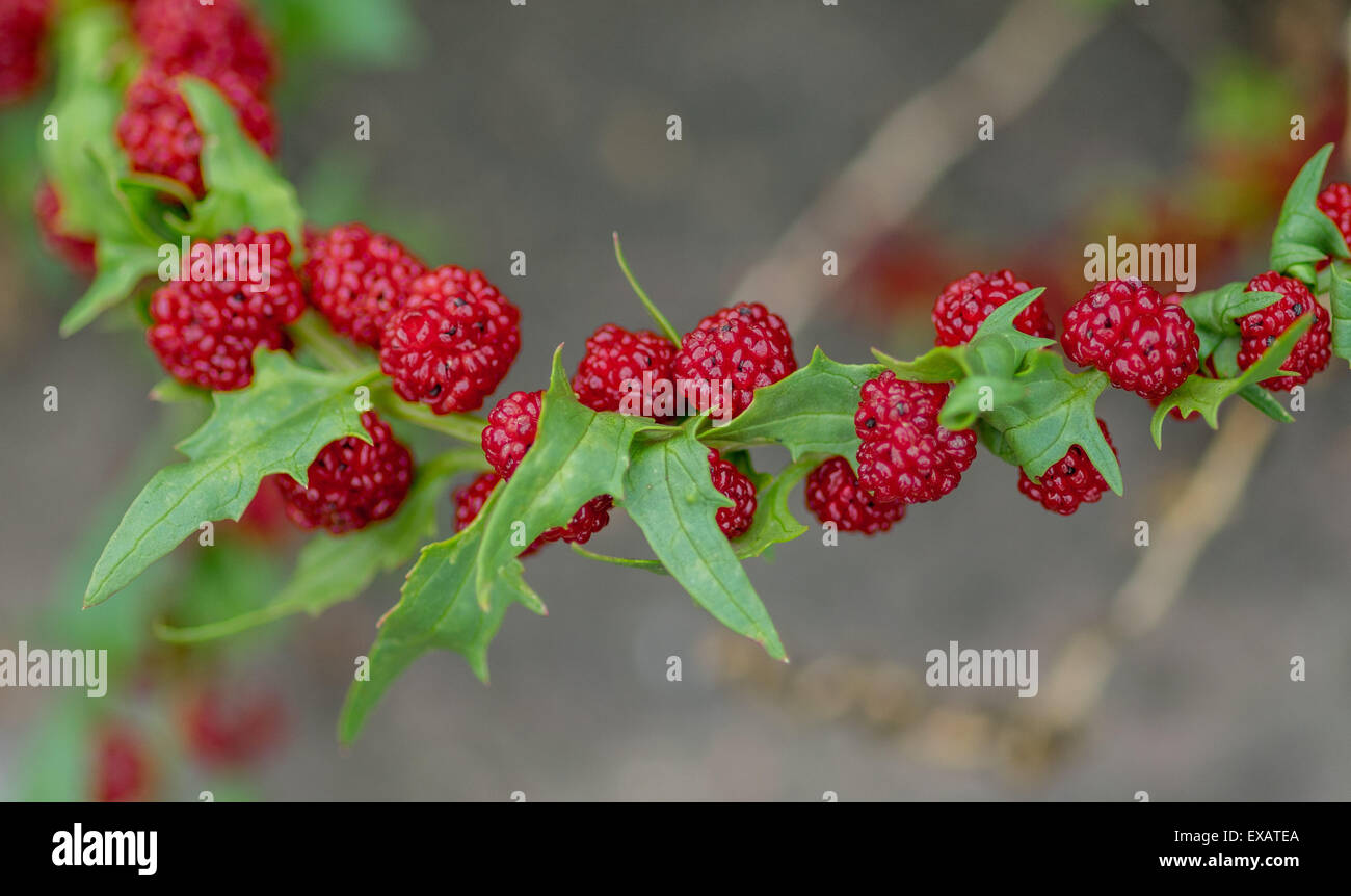 Goosefoot Chenopodium foliosum fruits - Stock Image