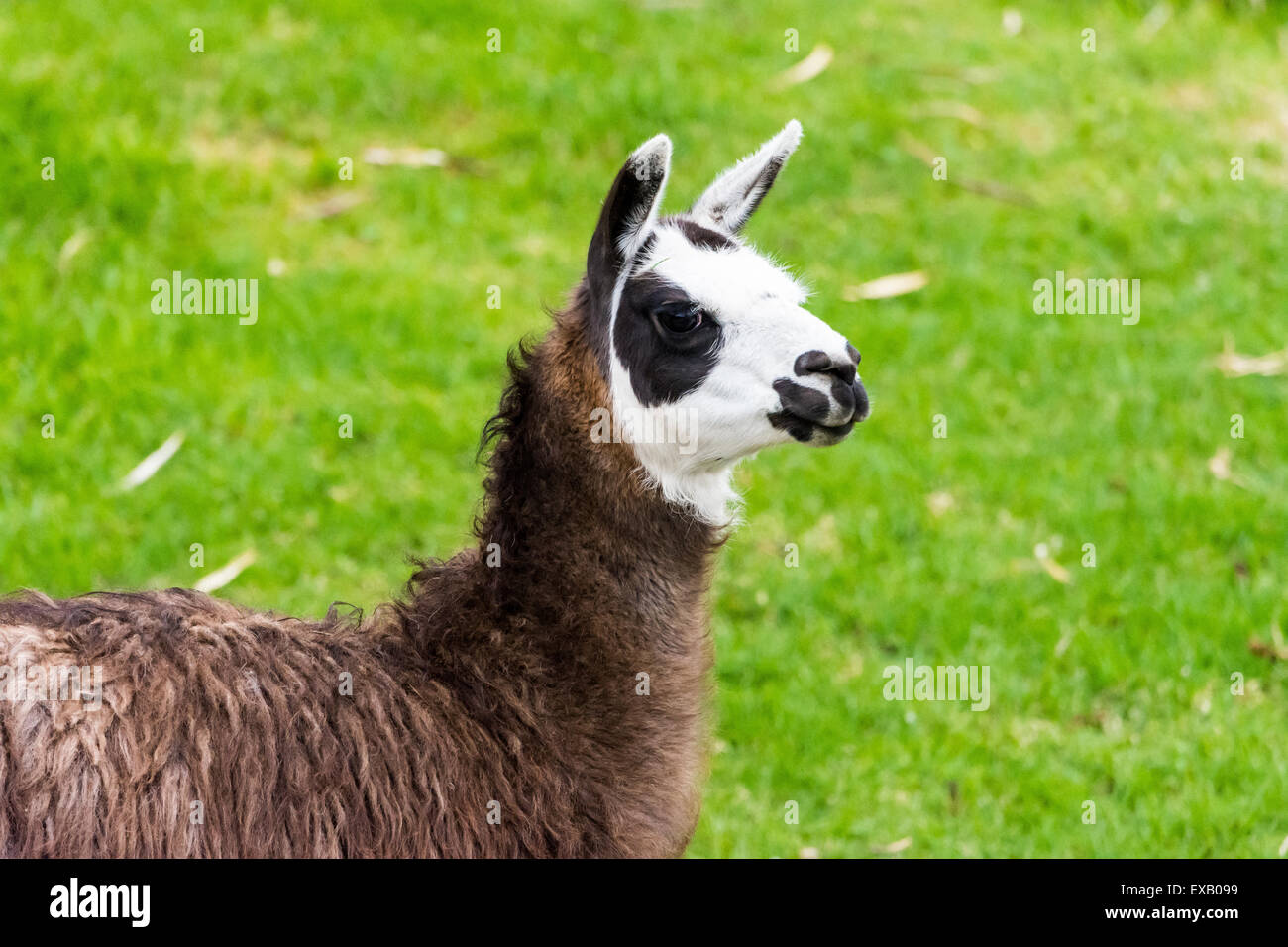 A brown white llama grazing on green grass. - Stock Image