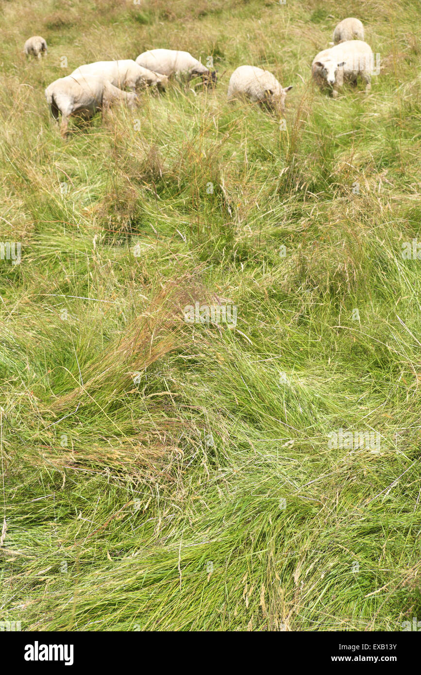 Former grass meadow showing tall grass recently flattened by newly arrived grazing sheep Herefordshire UK. - Stock Image