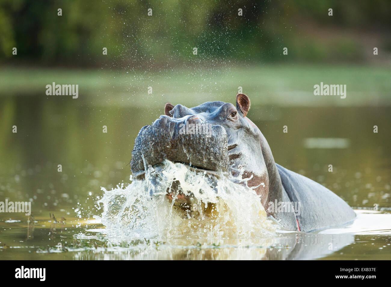 Male Hippopotamus displaying aggressive territorial behaviour spraying water - Stock Image