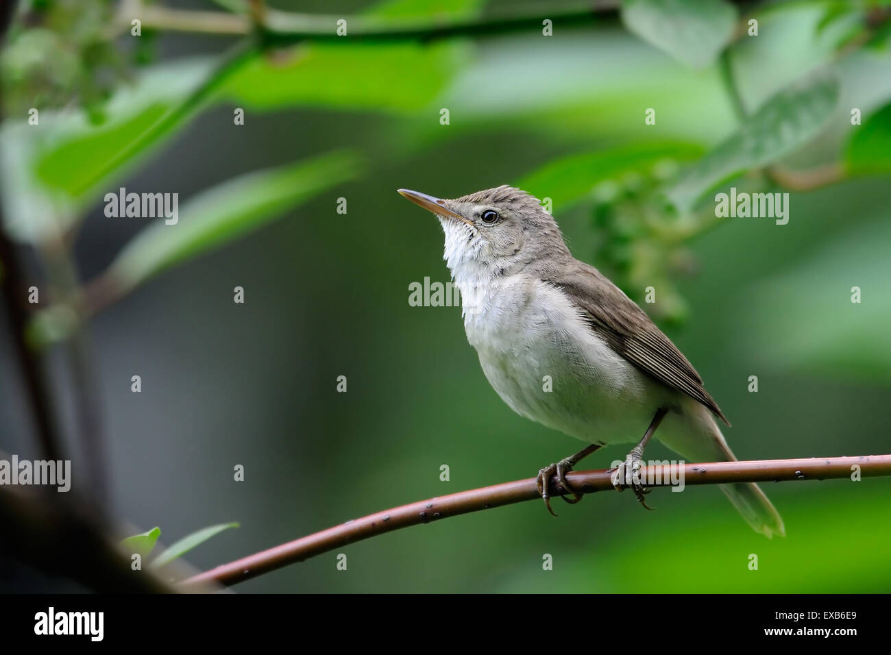 Perching Blyth's reed warbler Stock Photo