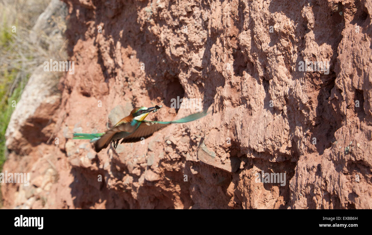 european bee-eater in flght with a cicada on its beak Stock Photo