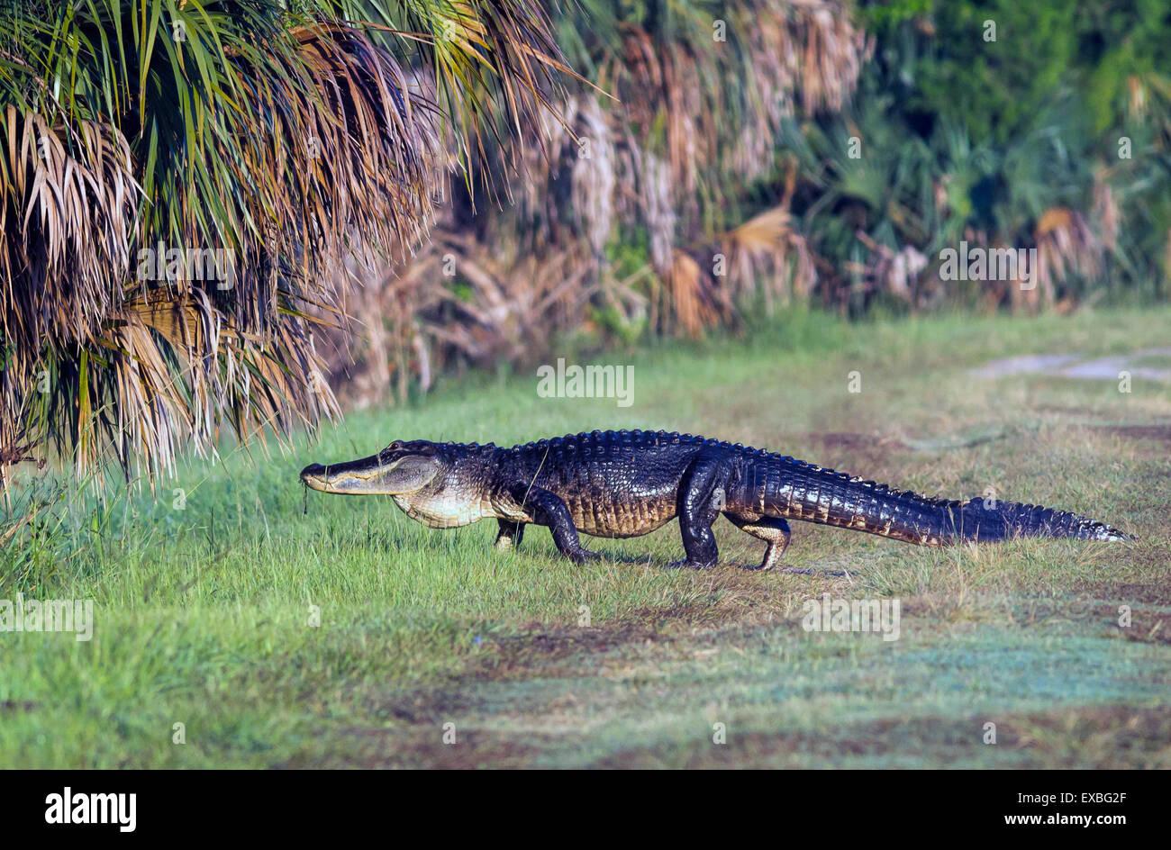 Gator crossing. - Stock Image