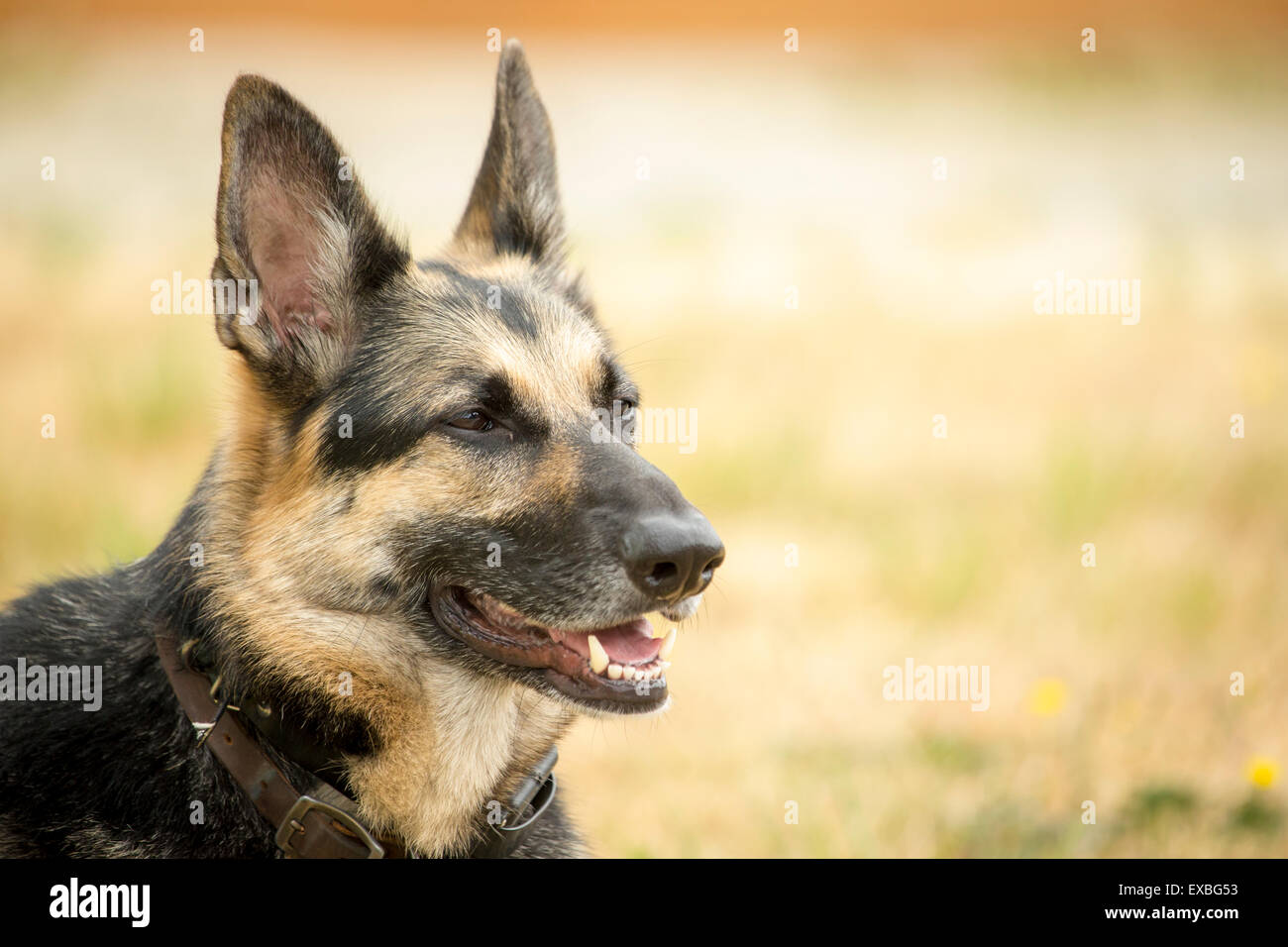 Portrait of alert and vigilant German Shepherd. - Stock Image