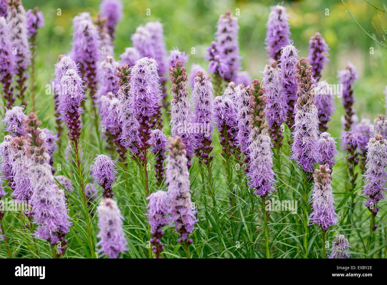 Blazing star purple flowers Liatris spicata - Stock Image
