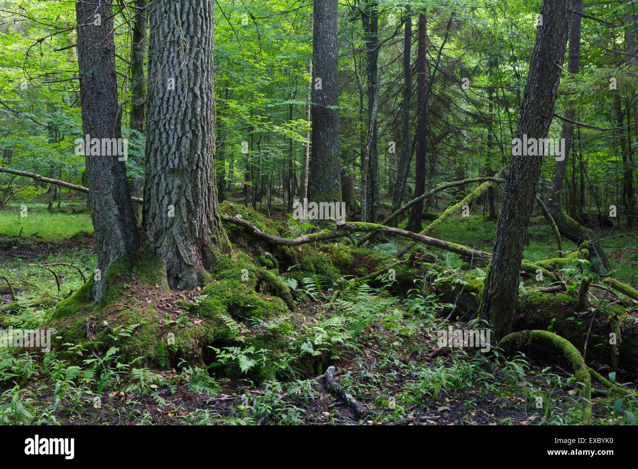 Primeval deciduous stand of Bialowieza Forest in summer with old alder tree in foreground - Stock Image