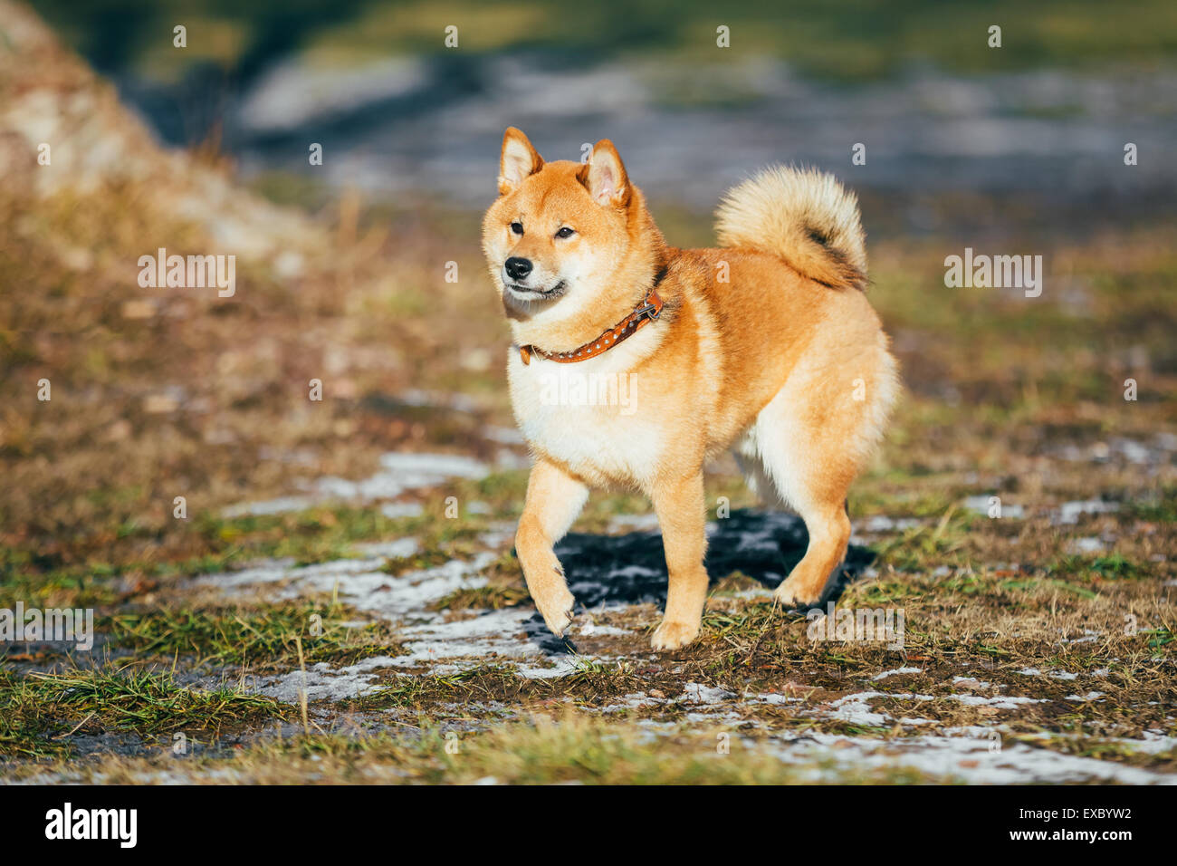 Beautiful Young Red Shiba Inu Puppy Dog Staying Outdoor In Spring - Stock Image