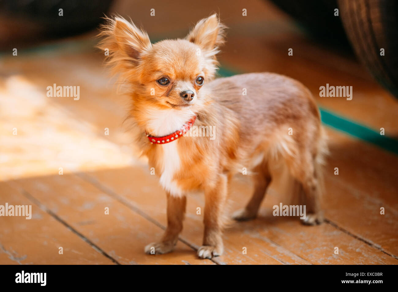 Beautiful Young Red Brown And White  Tiny Chihuahua Dog Staying On Wooden Floor - Stock Image