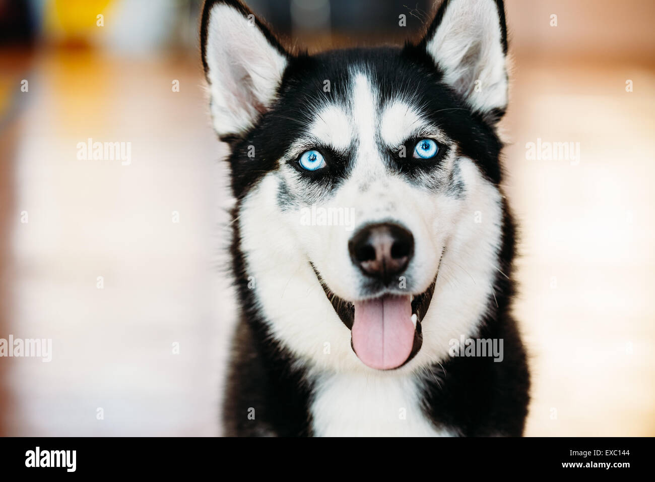 Close Up Head Young Happy Husky Puppy Eskimo Dog With Blue Eyes - Stock Image