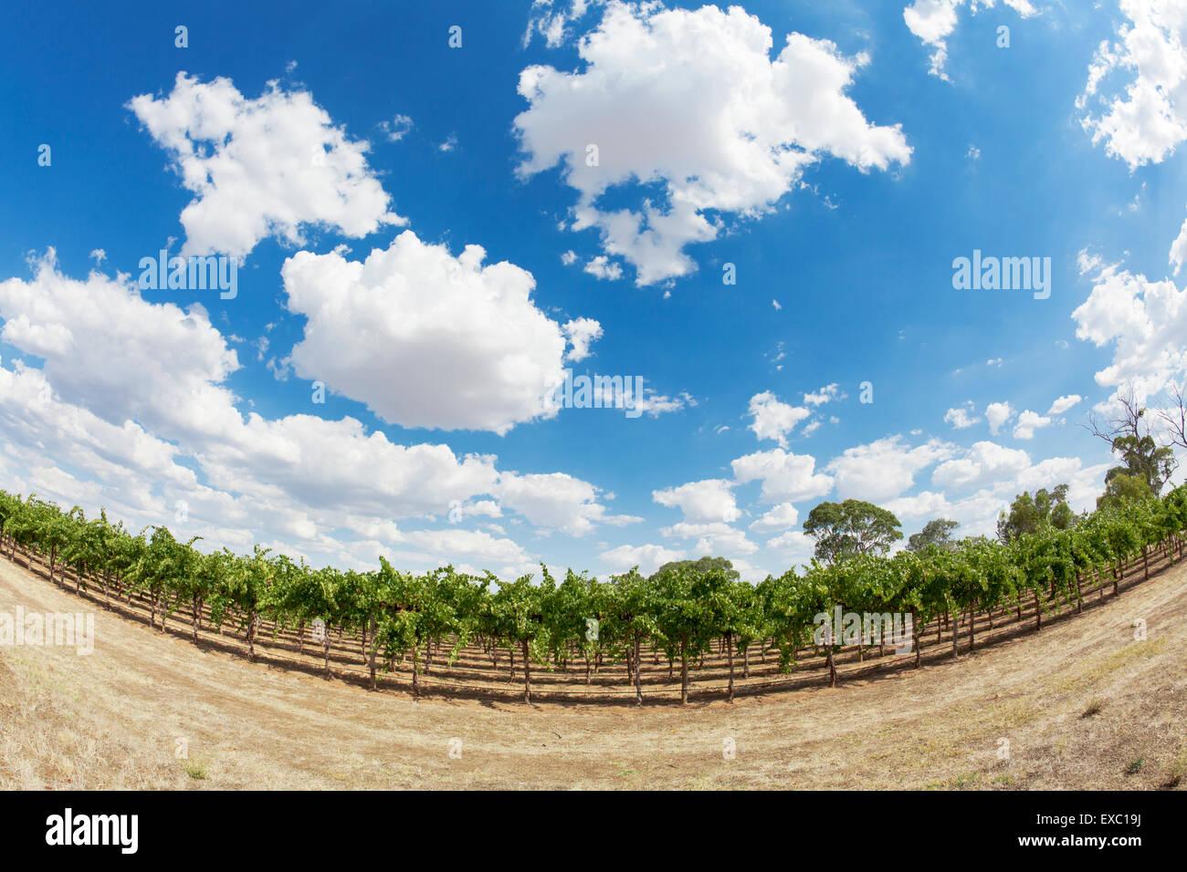 Vineyard - Stock Image