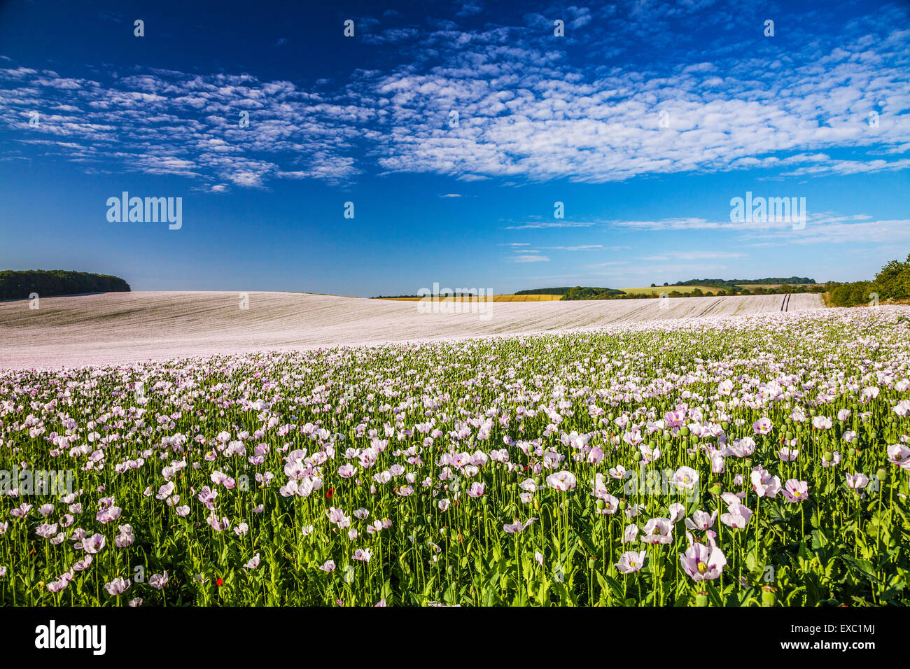 Field of cultivated white poppies near Rockley in Wiltshire. Stock Photo