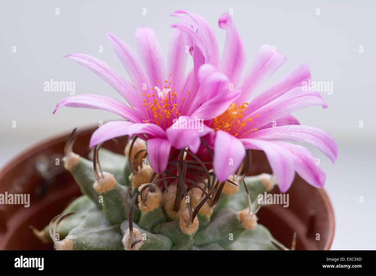 Blooming Cactus With Two Pink Beautiful Flowers Turbinicarpus Stock