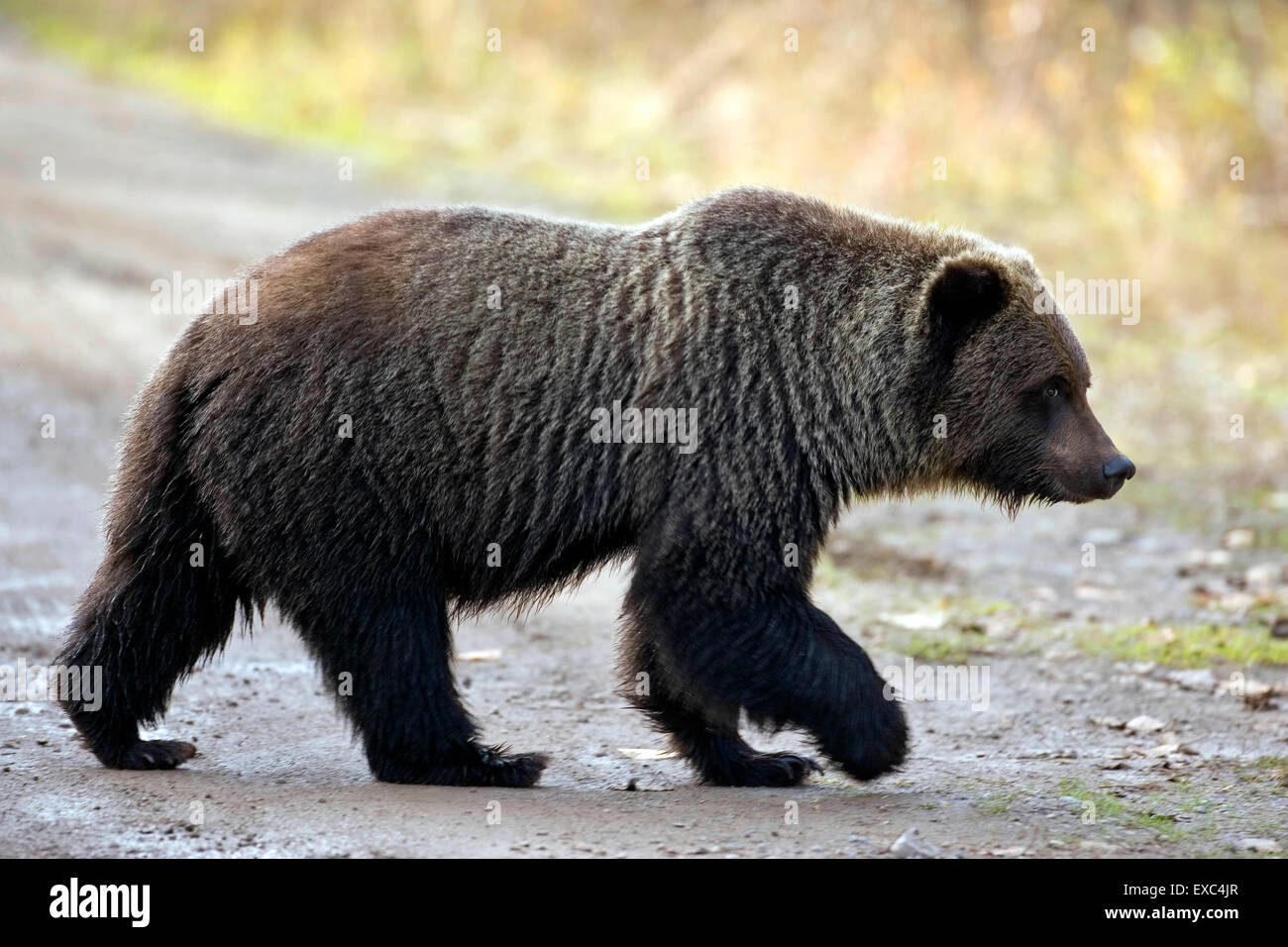 Grizzly Bear, young adult, three years old, crossing forest road Stock Photo