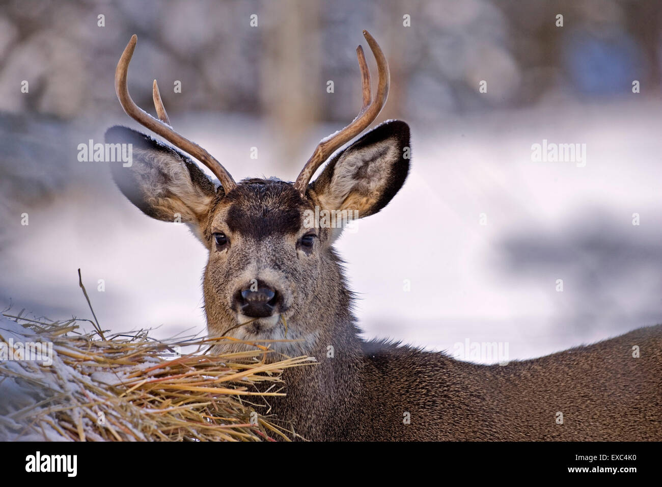 Mule Deer Buck in winter, standing  by Hay bale. - Stock Image