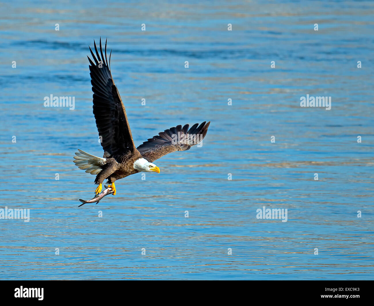 American Bald Eagle Flying with Fish Stock Photo