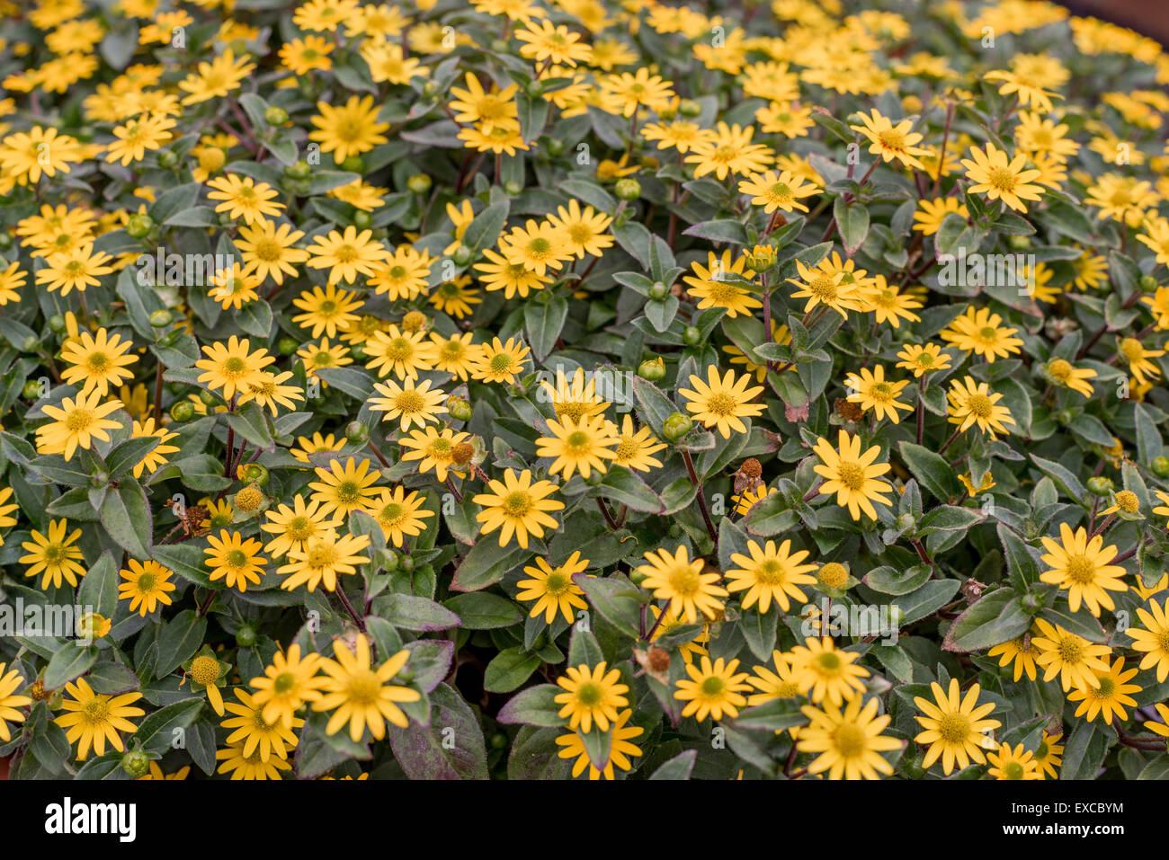 Creeping zinnias zinnia rich yellow flowers close up Sanvitalia speciosa Santiago yellow Stock Photo