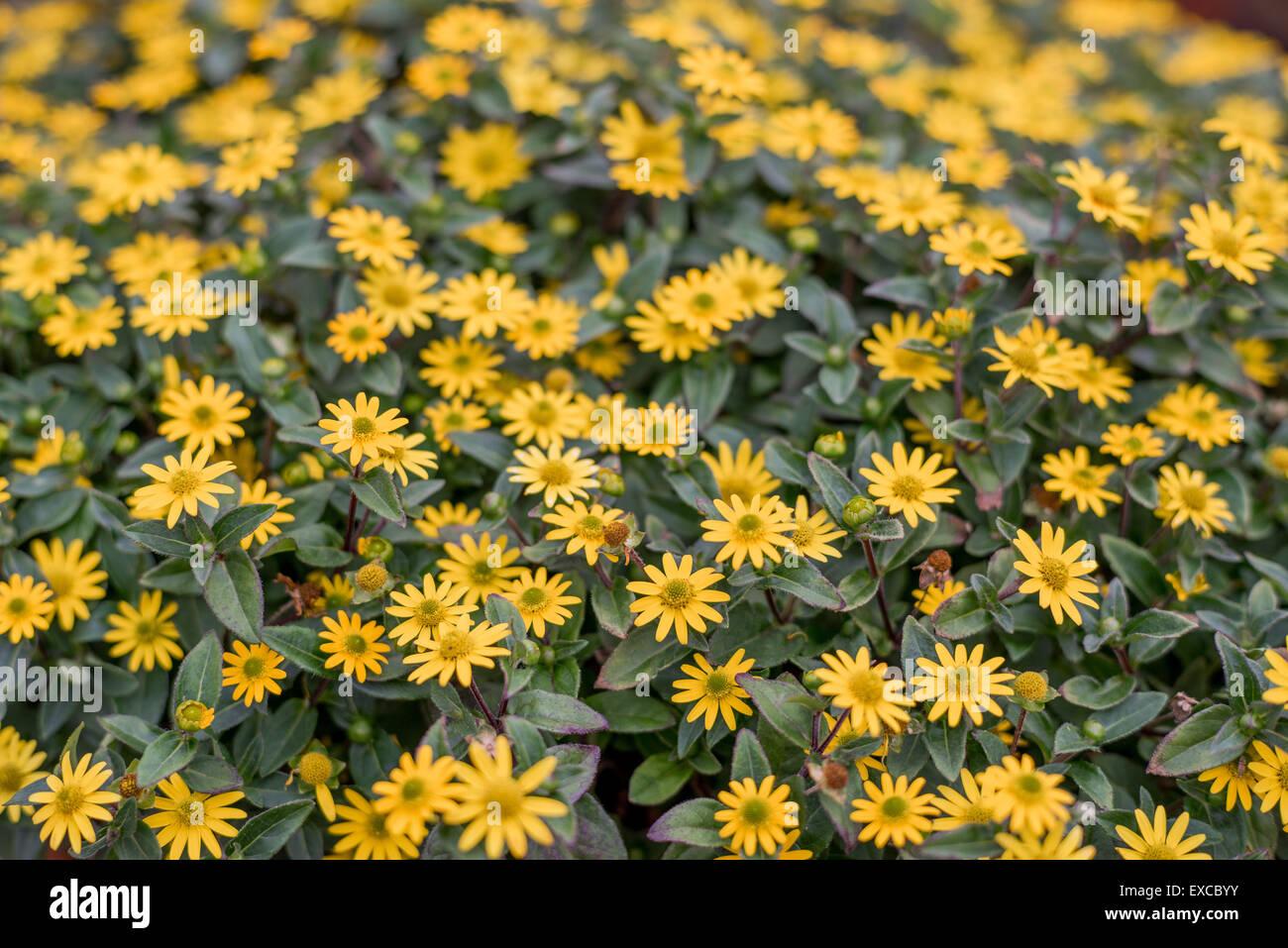 Creeping zinnias zinnia rich yellow flowers close up Sanvitalia speciosa Santiago yellow - Stock Image