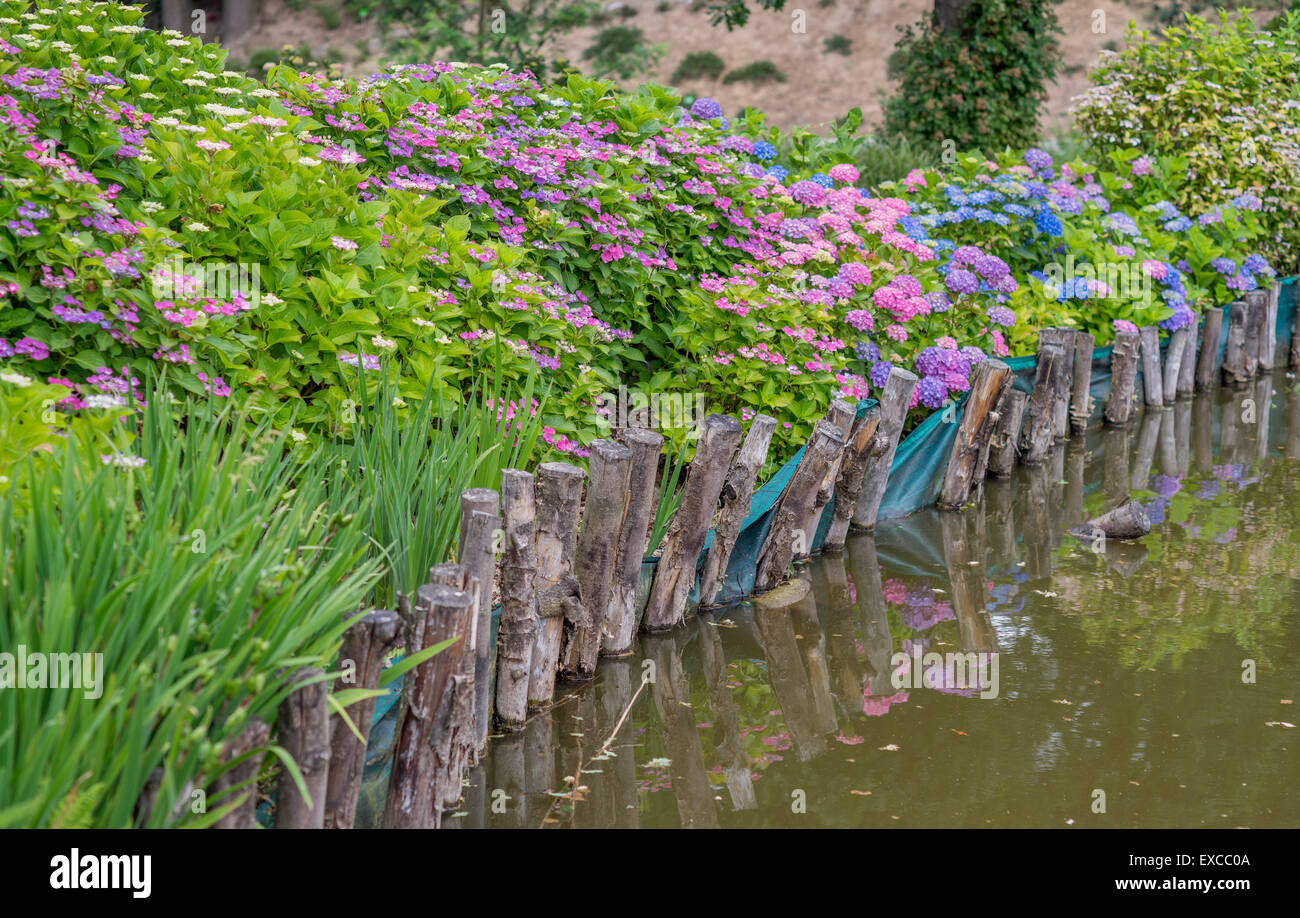 Blooming colorful hydrangeas and still water - Stock Image