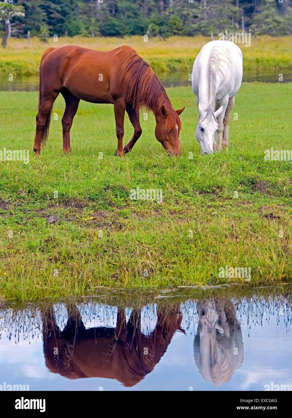 Arabian Horses chestnut and white grassing by creek, reflection in water Stock Photo
