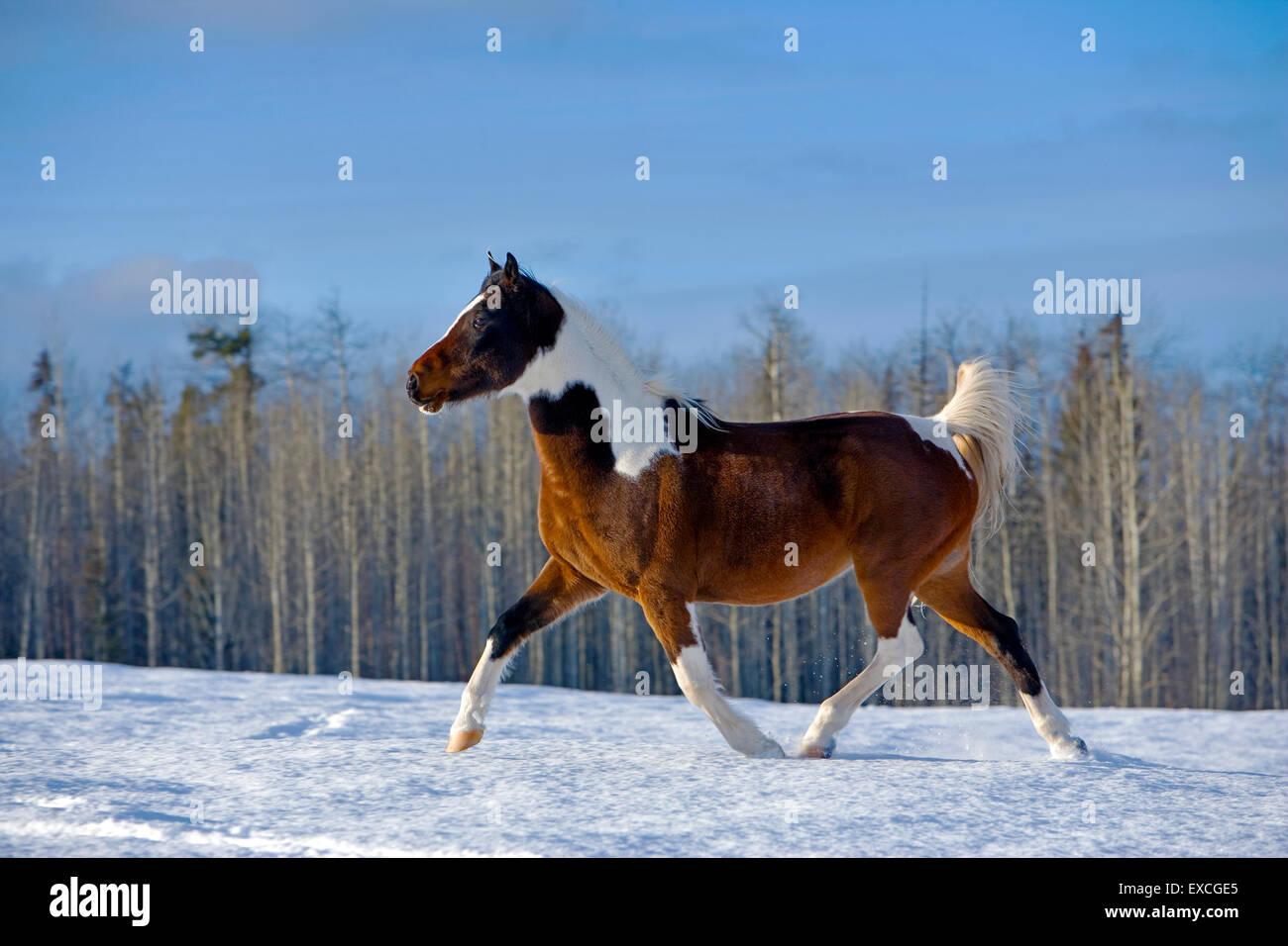 Arab Paint Gelding trotting on snow, portrait profile - Stock Image