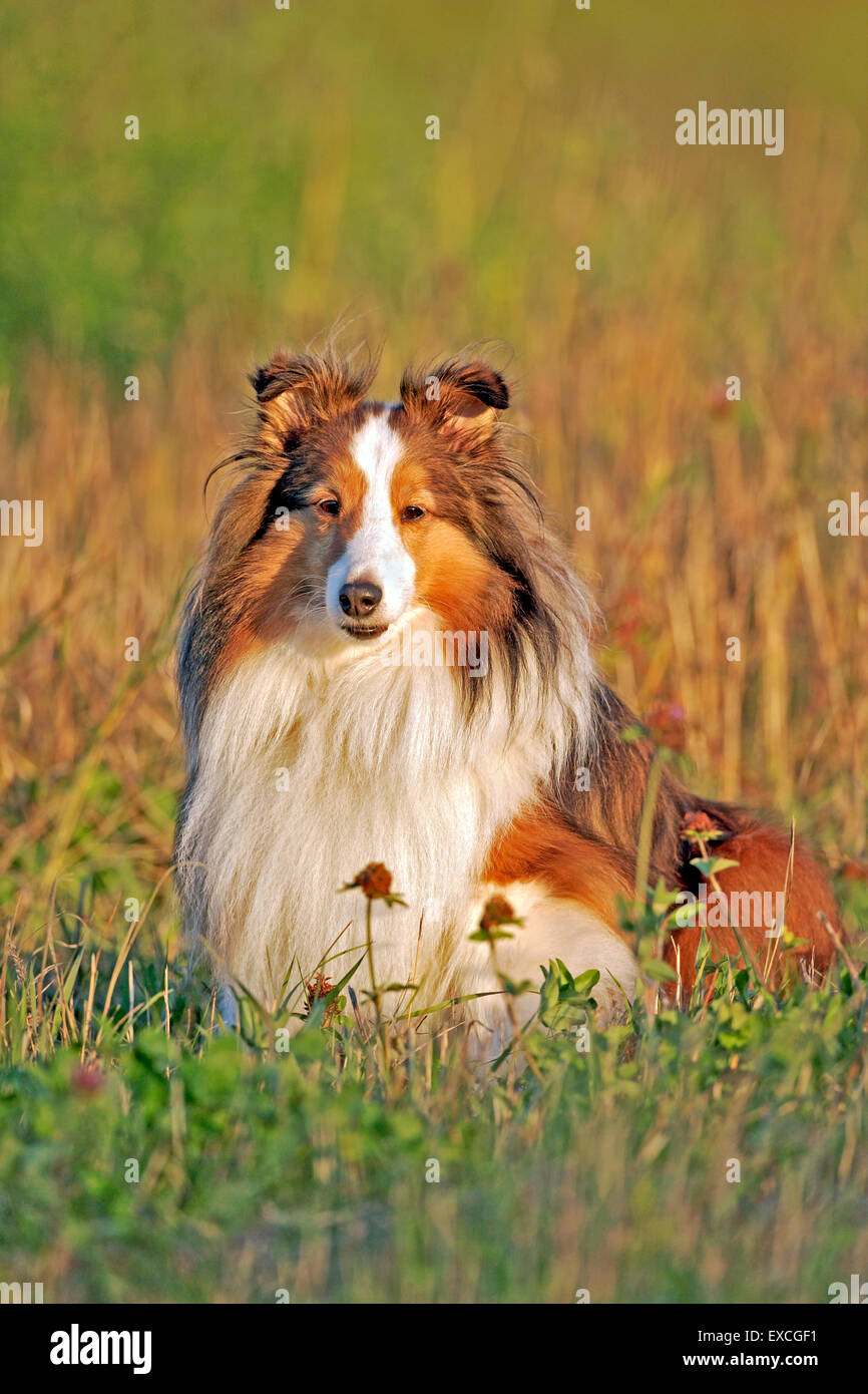 Shetland Sheepdog sitting in meadow, portrait - Stock Image