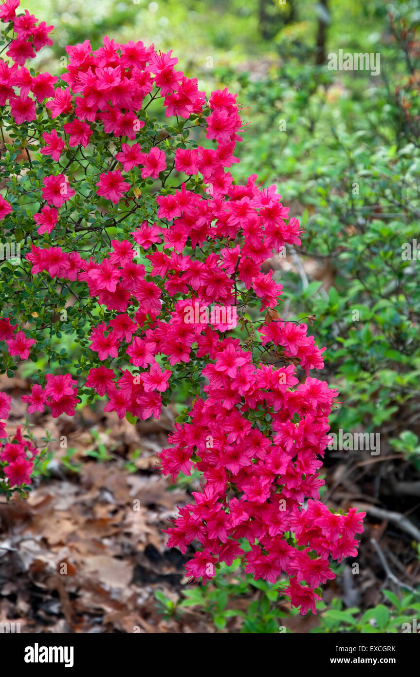 Red Rhododendron - Christmas Cheer - Stock Image