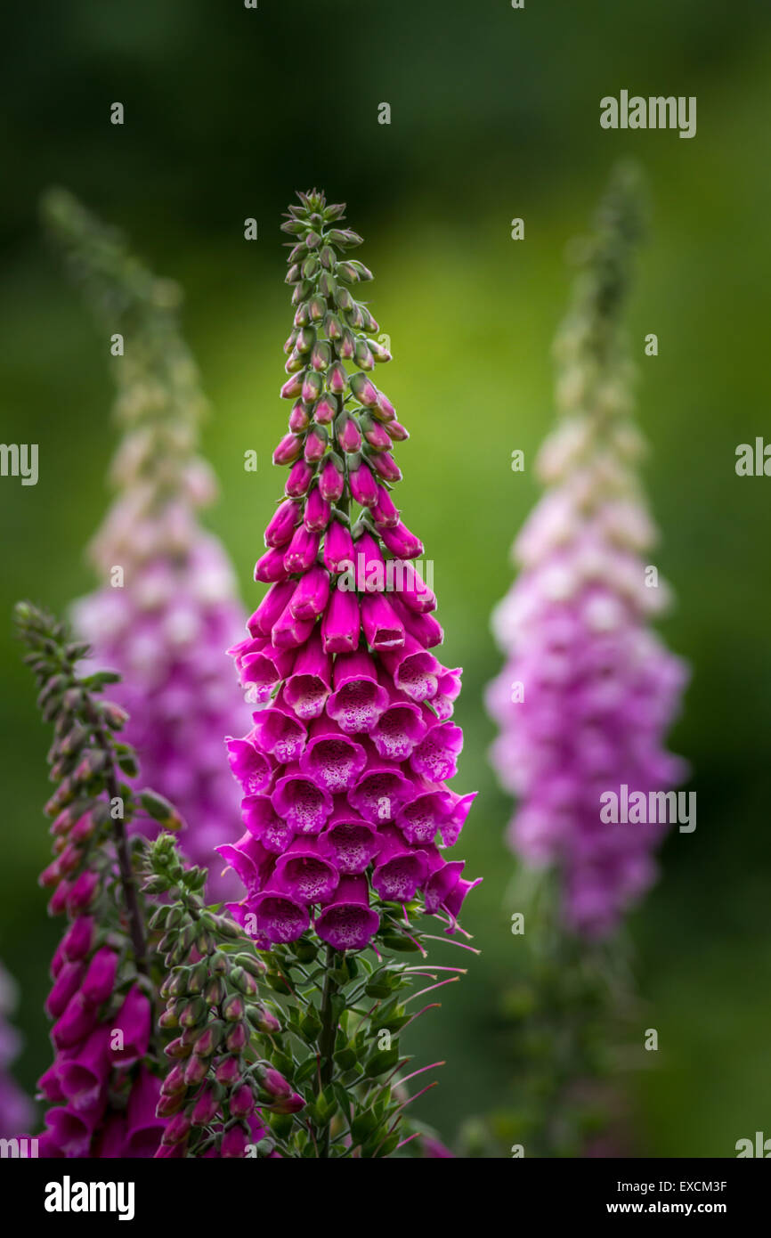 Foxglove plants growing in the Yorkshire countryside - Stock Image